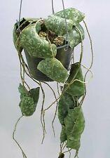 Hoya maxima red corona [B29J1],1 pot rooted plant10-12 inchesUnique!