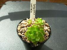 Sedeveria letizia-young plant in  8cms pot-in good condition.