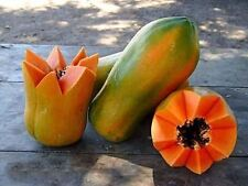 25 Seeds Meradol Maradol Caribbean Red Caribbean Sunrise Papaya Plant Big Fruit