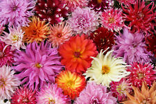 DAHLIA LARGE FLOWERS MIX 100 SEEDS, BLOOMS FAST FROM SEED, EZ TO GROW
