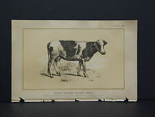 Cows Bulls Cattle Dairy Farming 1888 Engraving #043 Heifer Holland Breed