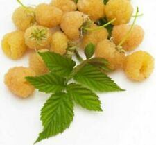 British Columbia Fall Gold Raspberry -20 Seeds- Golden & Rich Sweet Raspberries
