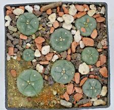 Kakteen – Kaktus – fricii albilflora - 7 Stück etwa 1 bis 1,5cm
