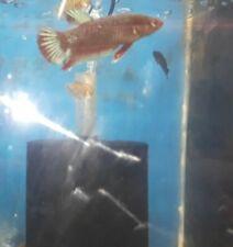 Beautiful Breeding Pair wild HM Plaket Betta Fish