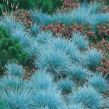 3 Festuca glauca Siskyou Blue Grass plug Hardy Evergreen Groundcover plant