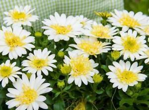 Pack x6 Osteospermum Erato® 'Double Lemon' Summer Plug Plants