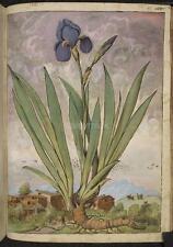 Iris fleur plante vintage, 7x5 pouces réimpression