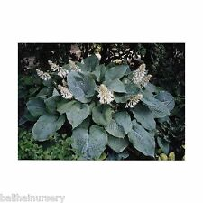 New Hosta Space Odyssey  blue-green lvs. giant Hosta at maturity,  garden plants