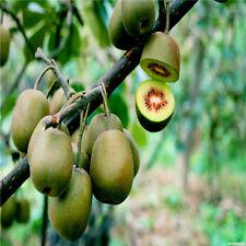 Kiwi Seeds Tree Fruit Plant bonsai Organic Farm Garden Tropical T009 100 pcs