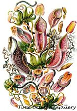 Botanical Illustration of the Nepenthaceae (Monkey Cups or Pitcher Plant)
