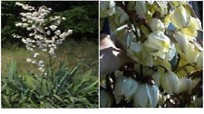 WHITE YUCCA ORNAMENTAL PLANT SHRUB HUGE CLUSTERS OF FLOWERS 50+ Seeds