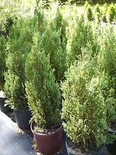 'Blue Point' Juniper, upright evergreen tree, 10 trees, FREE delivery