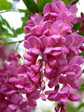 rare arnot bristly locust - robinia fertilis 10 seeds - pretty flowering tree