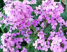 DAME'S ROCKET FLOWER SEEDS  *****