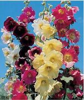 RARE! 11 FT TALL GIANT DANISH HOLLYHOCK FLOWER SEEDS MIX 50+