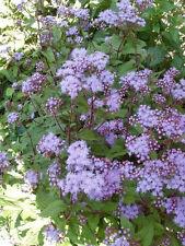 100 MISTFLOWER Hardy Ageratum Eupatorium Flower Seeds