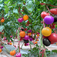 100Pcs Rainbow Tomato Seeds Colorful Bonsai Organic Vegetables and Fruits