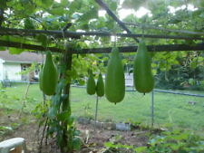 Lauki Edible gourd Kadhu lau lauki 15 plus seeds