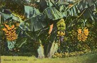 Vintage   Linen  Postcard ,  Banana Trees In Florida,