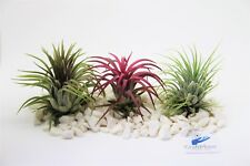 Air plants (tillandisa) Ionantha 3x Plant mix, Ionantha Red, Green & Rubra 6cm