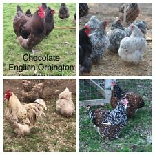 Hens Choice 12+ Fresh Hatching Eggs English Orpington Npip straight availability