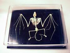 Bat Skeleton Articulated Specimen Wood Base Display Acrylic Cover Educational