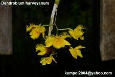 Orchid specie seeds: Dendrobium harveyanum - Year 2018