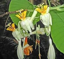 Passiflora macrophylla | Tree Passion Flower | Baum | Passionsblume | 10_Seeds