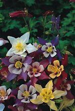 Flower - Aquilegia - McKanas Giant Mixed - 100 Seed - Economy