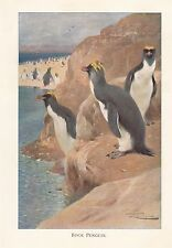 c1914 NATURAL HISTORY PRINT ~ ROCK PENGUIN ~ LYDEKKER