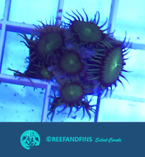 New listing Live Toxic Wowsers Zoanthid Lps Coral Frag (Saltwater)
