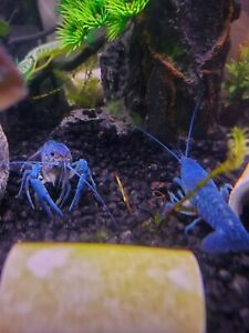 Electric Blue Crayfish - Procambarus Alleni - Juvenile Size - Live Crawfish