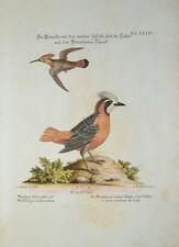 c1750 Schnurrvögel Pipridae Manakin Pipra Kolibris Hummingbird Kupfer Seligmann