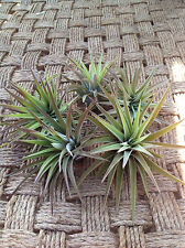 Air Plants Tillandsia B. Multiflora/Velutina 5 Pack