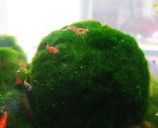 Giant Marimo Moss Balls