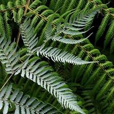 Cyathea Dealbata  - 50 Seeds / Spores - Silver Tree Fern