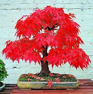 10 Red Japanese Maple Tree Seeds Acer (Palmatum atropurpureum) Landscape Bonsai