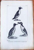 Penguin / Le Grand Pinguin, Le Manchot Sauteur - 1830s French Bird Print