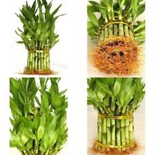 Lucky Bamboo Plant From China Total About 38 Stalks Houseplant Indoor Best Gift