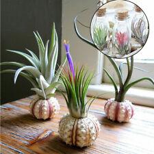 100pcs Tillandsia Seed Rare Assorted Bonsai Lonantha Air Plant Flower Tillandsia