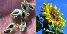 wohlriechende Riesen-Schokoladenblume mit Schokoduft ... 1,50 Meter hoch ! Samen