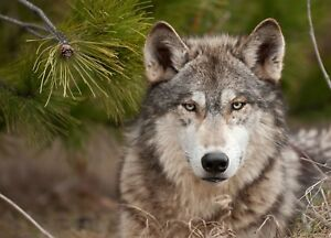 Wolf Wild Animal Eyes Face Tree Wildlife Canvas Pictures Wall Hanging Art Print