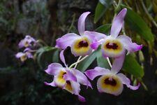 Dendrobium signatum occulatum 6 bulbs 3 new shoot 30 x 12  B.S.