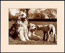 BEARDED COLLIE AND LAMB CUTE LITTLE DOG PRINT MOUNTED READY TO FRAME