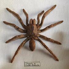 TAXIDERMIE sous verre MYGALE CENTRE AFRIQUE araignée tarentule 1976