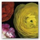 Ranunculus I Right Pip Bloomfield Art Print 18x18
