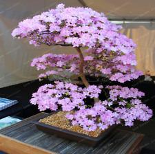 10 Pcs Seeds Sakura Bonsai Flowers Cherry Blossoms Tree Blossom Plants Garden N
