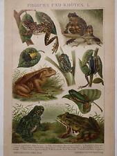 Lithographie Frösche und Kröten, Zoologie, Lurche, Brockhaus 1901-1905