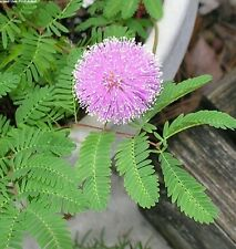 1000 Sensitive plant seeds ~ Mimosa pudica~ *Free US Shipping*