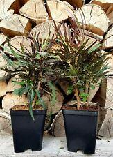 2x Dizygotheca Schefflera~Strahlenaralie~Zimmerpflanze~Pflanze~Bonsai~ca.15-20cm